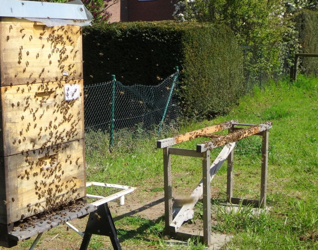 Verwirrt sammeln sich viele Bienen des aufgelösten Volkes am alten Standplatz. Andere sind dabei, sich im Nachbarvolk einzubetteln.