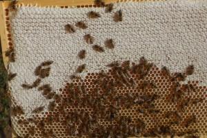 Einige Honigwaben waren bereits weiträumig verdeckelt. Beim nächsten Mal werde ich das Refraktometer einsetzen.