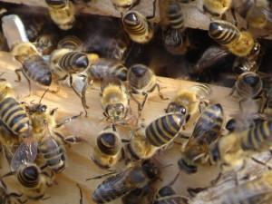 Ungeniert auf den Po geschaut: Bienen, die ihren Hinterleib anheben und heftig mit den Flügeln schlagen, verbreiten Pheromone, mit der Nachricht: Die Königin ist hier - kommt alle her!