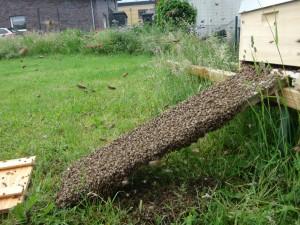 Anfangs sah es ja ganz gut aus - die Rampe voller Bienen, die sich Richtung Beute bewegen.