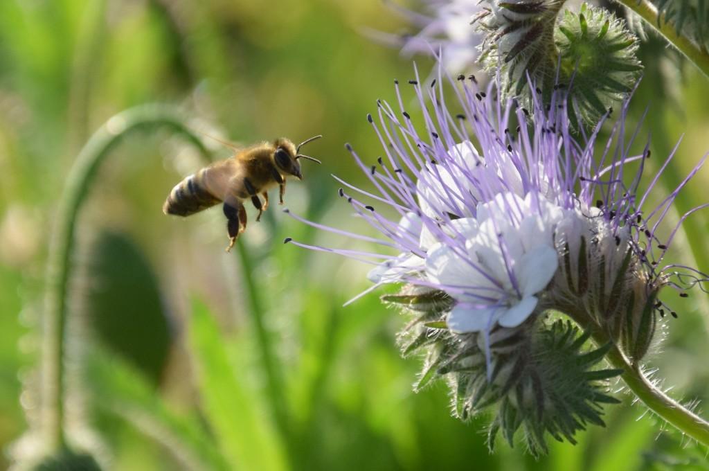 Was macht die Imkerin während sie auf einen Schwarm wartet? Mit der neuen Kamera Bienen fotografieren. Diese fliegt eine Phazeliablüte an. Wer genau hinschaut entdeckt, an den lilafarbenen Pollenhöschen, dass sie schon mal da war....