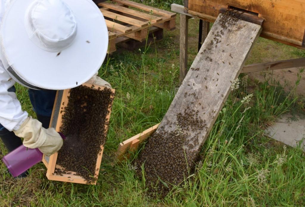 Damit nicht so viele Bienen auffliegen, besprühe ich sie mit Wasser und stoße sie aus der Kiste.