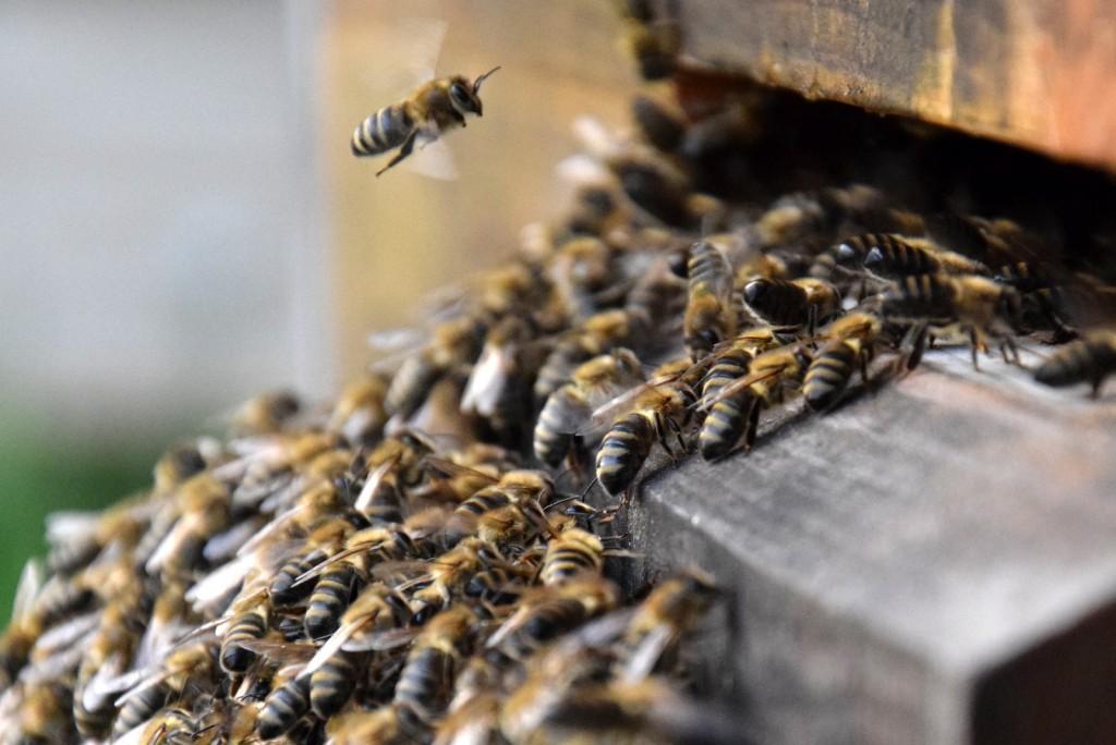Angelockt vom Duft der Mittelwände laufen die Bienen in die Beute ein - irgendwo mittendrin ist die Königin.