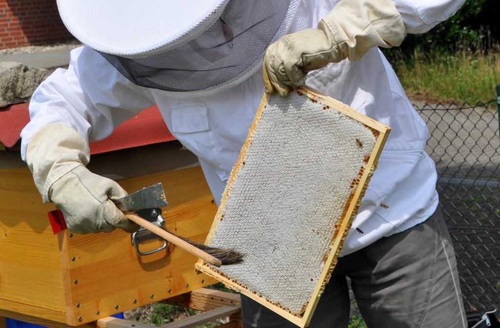 Eine Faustregel besagt, wenn zwei Drittel der Wabe verdeckelt sind, ist der Honig reif. Diese Wabe ist bereits komplett verdeckelt und Dank der Bienenflucht fast frei von Bienen.