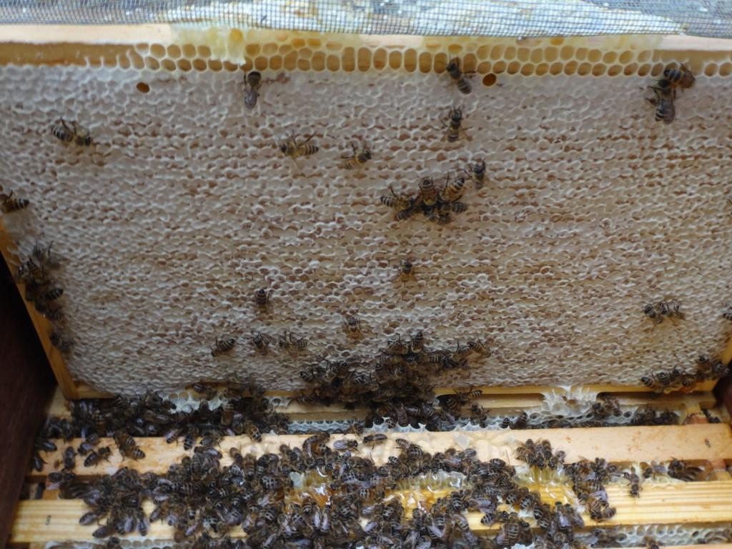 Gefüllt und sogar komplett verdeckelt -so sehen bei Marlene die meisten Waben im oberen Honigraum aus.