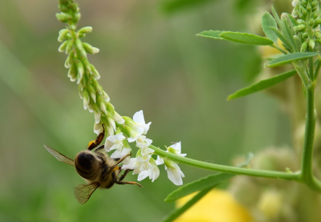 Diese Biene nascht am Weißen Steinklee. Der blüht in diesem Jahr erstmals auf der Wiese.