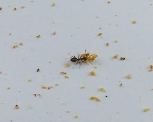 Hier schleppt die Ameise nur Pollen weg - unter den Milben hat sie schon vorher aufgeräumt.