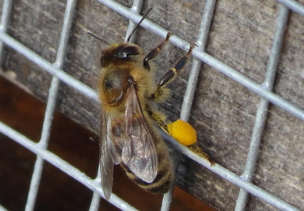 Heute flogen die Bienen fleißig und trugen reichlich Pollen ein.