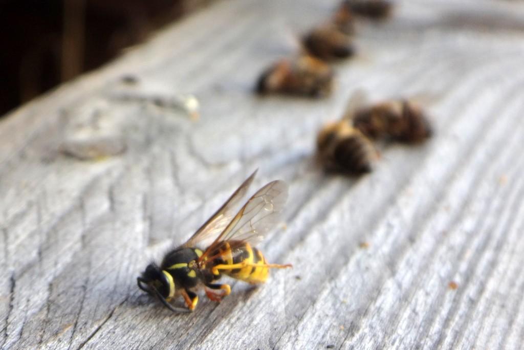 Insgesamt drei tote Wespen lagen auf der Holzpalette vor dem Flugloch.